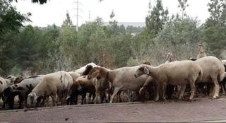 עדר כבשים בראש העין. צילום ארכיון: אופק חסון